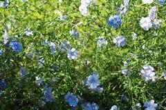 Lino blu Fotografie Stock