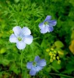 Lino blu di fioritura agricoltura Erbe medicinali Estate Immagine Stock