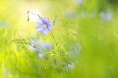 Lino blu su un fondo verde delicato Fiori delicati di lino nel prato Fotografia Stock