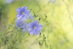Lino blu su un fondo verde delicato Fiori delicati di lino nel prato Immagine artistica dei fiori Fotografie Stock Libere da Diritti