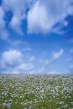 Lino del fiore Fotografie Stock