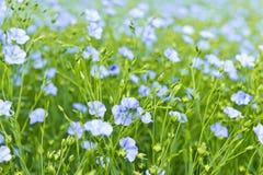 Lino di fioritura Fotografie Stock