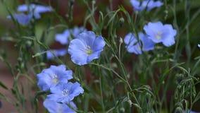 Lino floreciente del azul del verano almacen de video