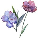 Lino variopinto Fiore botanico floreale Wildflower selvatico della foglia della molla isolato Immagini Stock