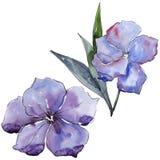 Lino viola Fiore botanico floreale Wildflower selvatico della foglia della molla isolato Immagini Stock