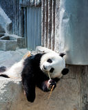 Linping Panda Στοκ εικόνα με δικαίωμα ελεύθερης χρήσης