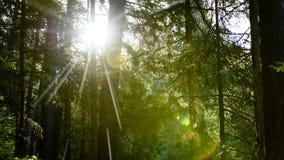 linssignalljus av ljus i skog i försommarmorgon Arkivbilder