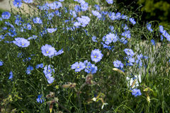 Linum altaicum Royalty Free Stock Image