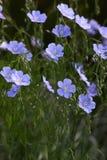 Linum austriacum. stock photography