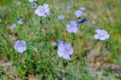 Linum austriacum in botanical garden in Poland royalty free stock images