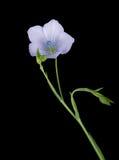 Linum bienne - den bleka linmakrodetaljen, fjädrar den lösa blomman Royaltyfria Bilder