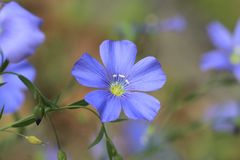 Linum Blossom Royalty Free Stock Images