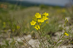 Linum flavum Royalty Free Stock Photos