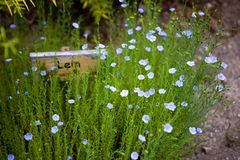 Linum (flax) Stock Image