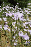 Linum (flax) Stock Images