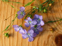 Linum, flax Stock Images