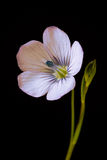 Linum flower Royalty Free Stock Image