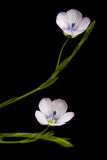 Linum flowers Royalty Free Stock Photography