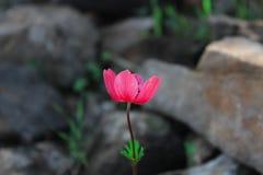 Linum grandiflorum rubrum kwiat zamkni?ty w g?r? kr?tkop?du fotografia stock