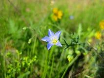 Linum Lewisii ou Wildflower azul selvagem do linho fotos de stock