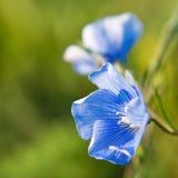 Linum (Linum austriacum) Royalty Free Stock Photo