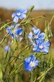 Linum (Linum austriacum) Stock Photos