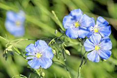 Linum (Linum austriacum) Stock Photo