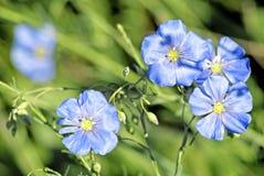 Linum (Linum austriacum) stock photo
