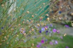 Linum macrorhizum decorative linen green plant Royalty Free Stock Photography
