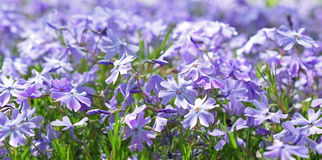 Linum perenne flowers, also know as perennial flax, blue flax or lint. Royalty Free Stock Photos