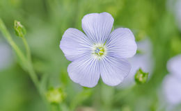 Linum perenne perennial flax . Blue flowers of flax Stock Photography