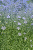 Linum perenne perennial flax . Blue flowers of flax Royalty Free Stock Images