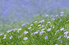 Linum perenne perennial flax . Blue flowers of flax royalty free stock photo