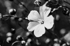 Linum perenne (perennial flax) Stock Image