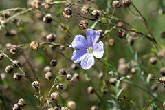 Linum perenne (perennial flax) Stock Photography