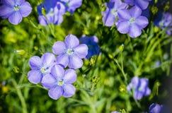 Linum sativum flowers Royalty Free Stock Photos