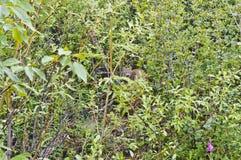 Linx в кустах Стоковое Фото