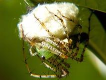 linx蜘蛛 库存照片