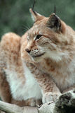 Linx. Iberian lynx standing on a tree branch Royalty Free Stock Photography