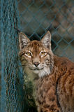 Linx portrait. In Zoo cage Stock Images