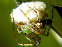Linx Spider. Green Linx Spider guarding her egg Stock Photo