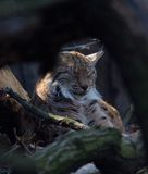Linx trait Šumava Wildlife Wood forest Royalty Free Stock Photography