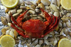 Lio carcinus puber crab over shell clams Royalty Free Stock Image