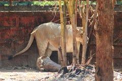Lio die van leeuwpanthera achterkant van bamboeboom bevinden zich stock afbeeldingen