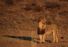 Lio mâle dans le Kgaligadi après lever de soleil Photo libre de droits