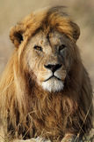 Lio male with large golden mane, Serengeti Stock Photo