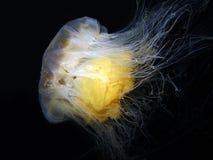 Lionâs Grzywy Jellyfish Obrazy Royalty Free