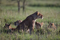 Lionґs Pride morning Royalty Free Stock Photo