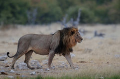 Lion à la saison sèche Photo stock