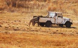 Lion étant alimenté Image stock